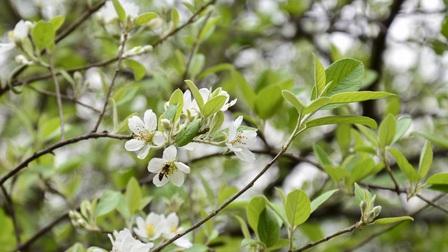 Hoa Sơn Tra nở trắng trên đỉnh Pha Đin