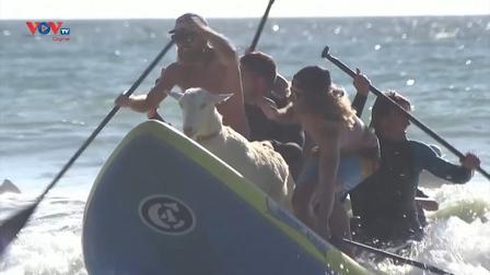 Những chú dê lướt sóng như vận động viên thực thụ