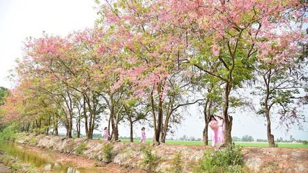 Mùa ô môi trên quê hương miền tây
