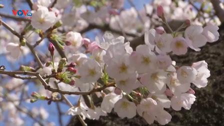 Người dân Nhật Bản đón mùa hoa anh đào đến sớm