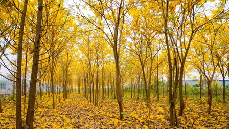Vườn hoa phong linh nở sắc vàng rực rỡ đẹp tựa trời Âu ở Bắc Giang