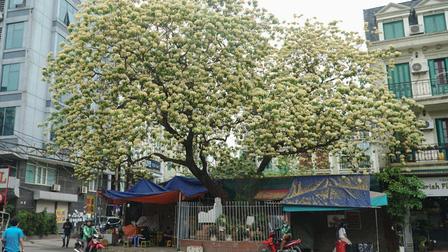 Choáng ngợp cây bún 300 tuổi 'báu vật độc nhất vô nhị' ở Hà Nội