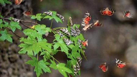 Sửng sốt vẻ đẹp 'siêu thực' của thung lũng bươm bướm ở Hy Lạp