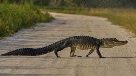 Cá sấu xuất hiện tràn lan ở Florida