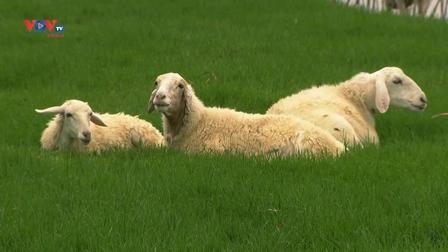 Ghé thăm cố đô Ninh Bình, khám phá đồng cừu Vân Long