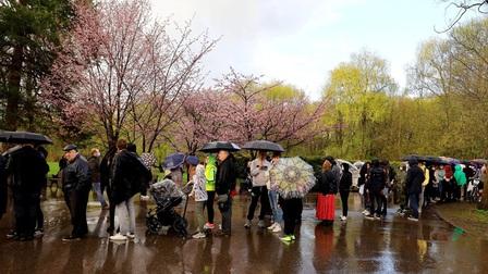 Người dân Moscow đội mưa tới công viên ngắm hoa anh đào đua nở