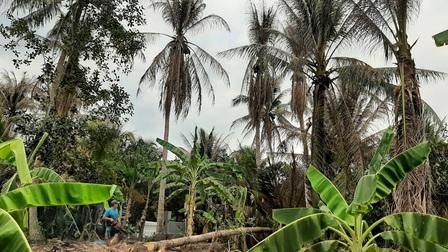Bến Tre: Sâu đầu đen gây hại hơn 500 ha vườn dừa