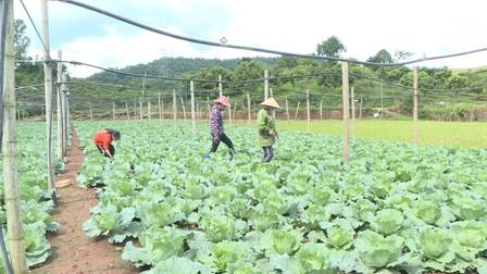 Rau trái vụ - Hướng đi hiệu quả cho người nông dân Mộc Châu
