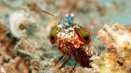Loài tôm đẹp lung linh nhưng sở hữu 'cú đấm' có thể làm vỡ bể cá