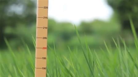 Trung Quốc trồng thành công 'lúa khổng lồ' cao 2m