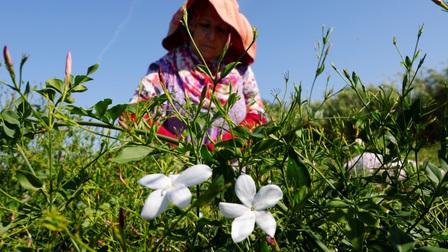 Loài hoa tạo ra nước hoa Chanel số 5 danh giá