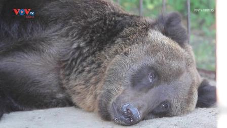 Ukraine: Giải cứu gấu nâu khỏi cuộc sống giam cầm